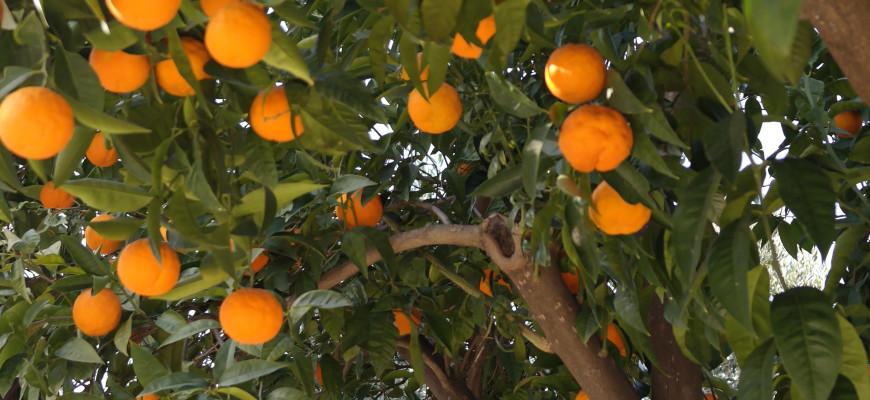 appelsinblomst anastasia